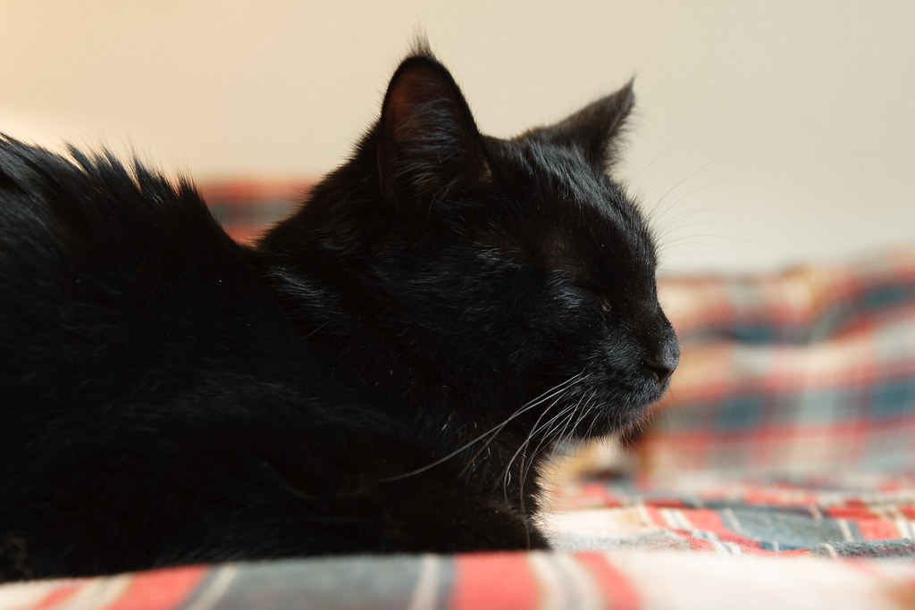 A close-up of our black cat Emma as she sleeps on the guest bed