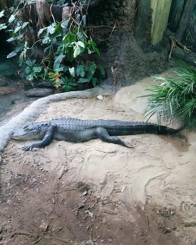 American alligator #toronto #torontozoo #reptiles #alligator #americanalligator #latergram