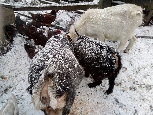 goats in snow Dec 17 (2)