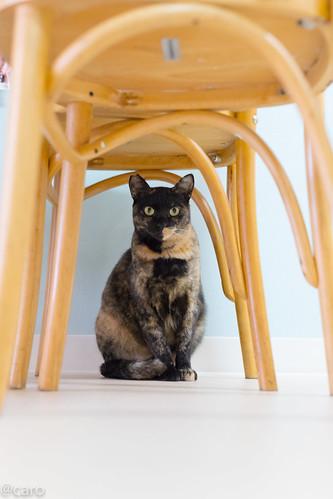 アトリエイエネコ Cat Photographer 24522456507_e3183a8e38 保護猫カフェ・カーロ