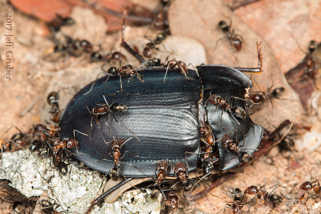 Ants dismantling a Pie Dish Beetle