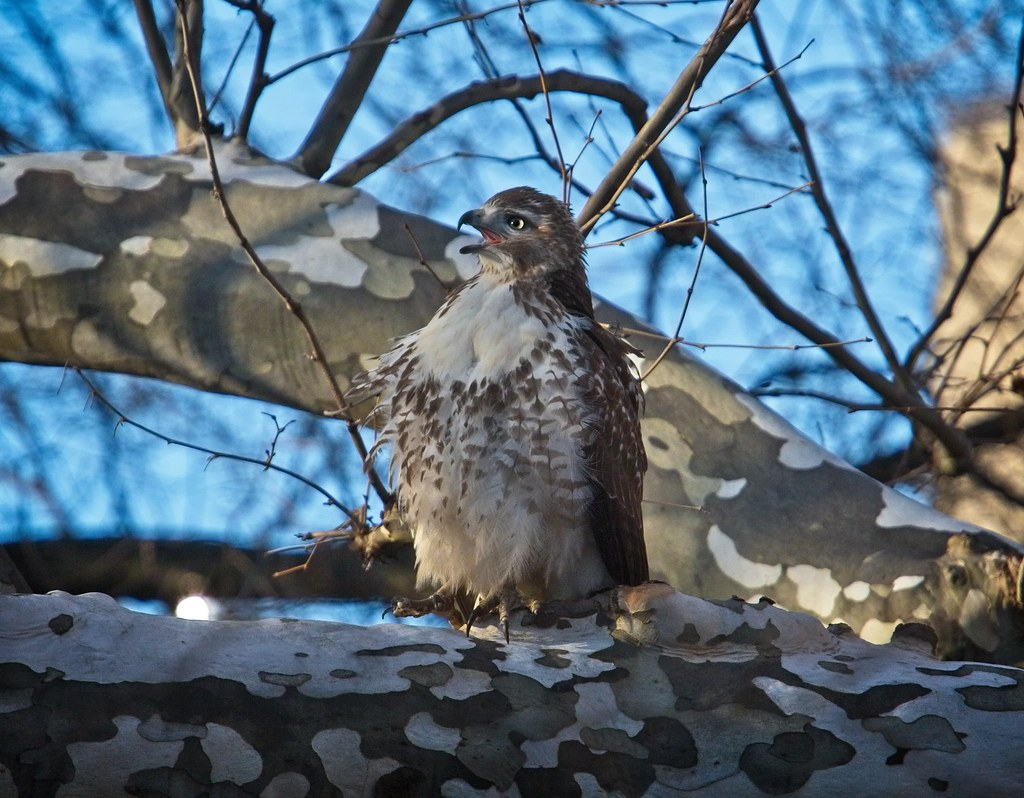 Immature red-tail begs