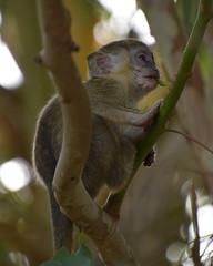 A baby monkey, close to Kotu, Gambia