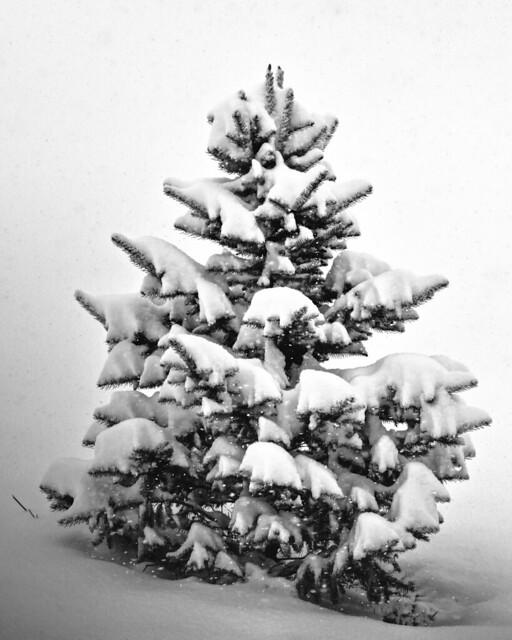 Evergreen and Snow, B, Nikon D5300, AF-S DX VR Nikkor 55-300mm 4.5-5.6G ED