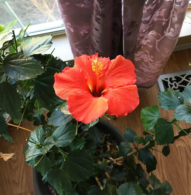 I'm really impressed that the hibiscus plant we moved inside is still flowering! 🌺