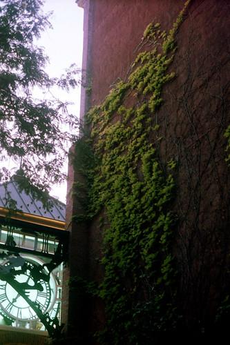 film minoltasrt100 light lighting soft ivy plant nature sunset delicate concord newhampshire