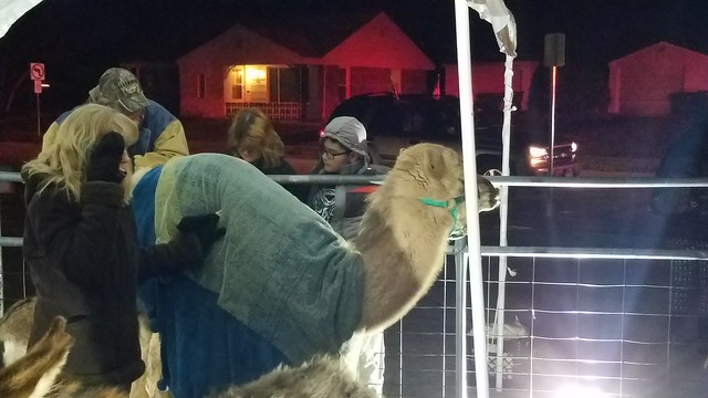 Camel at Living Nativity