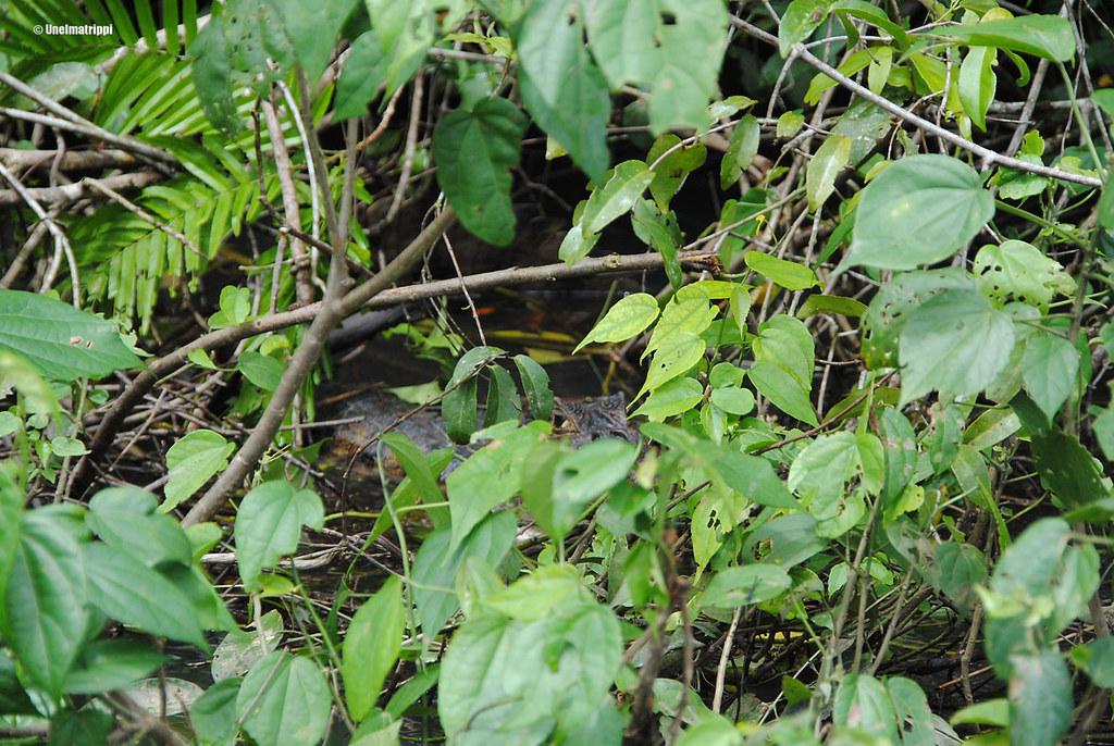 Krokotiili, Tortuguero, Costa Rica
