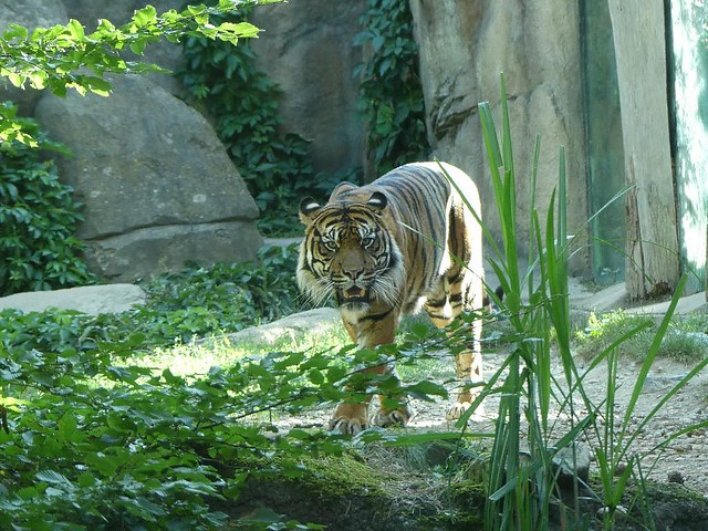 Sumatratiger, Zoo Brno