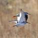 Redshank Flight