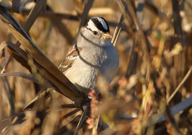 White-crowned Sparrow, Canon EOS 7D, EF400mm f/5.6L USM