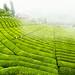 Çay Tarlası, Çaylık (Tea Field) by Talip Çetin