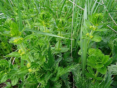 Gewöhnliches Kreuzlabkraut - Cruciata laevipes, NGID71245664
