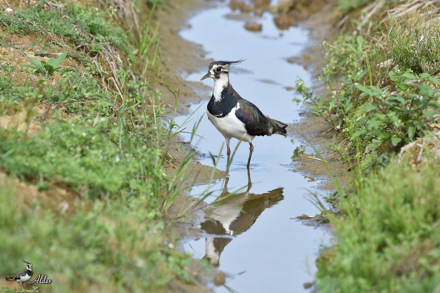 Northern_Lapwing_7765