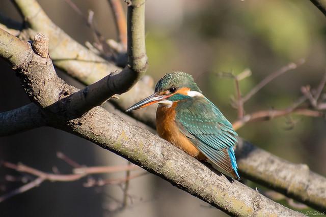 20180125-kingfisher-DSC_5359