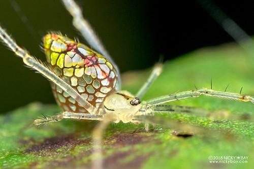 Mirror spider (Thwaitesia sp.) - DSC_7606b