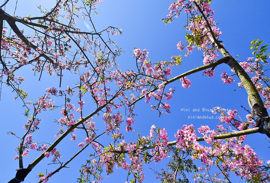 芬園花卉休憩園區-櫻花園區201805