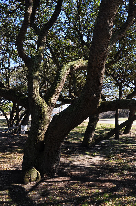 Live Oaks (Quercus virginiana) (4)