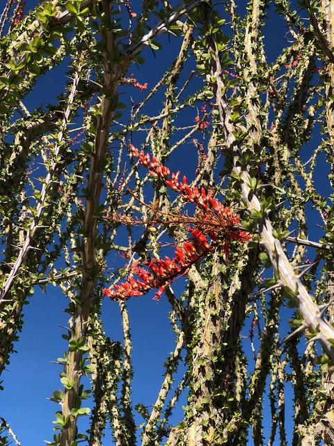 Joshua Tree - Ocatillo flower 2