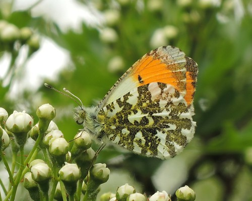 Orange Tip (Anthocharis cardamines) Male