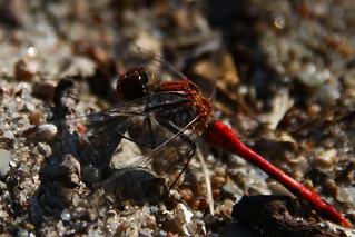 Dragonfly Stralsund