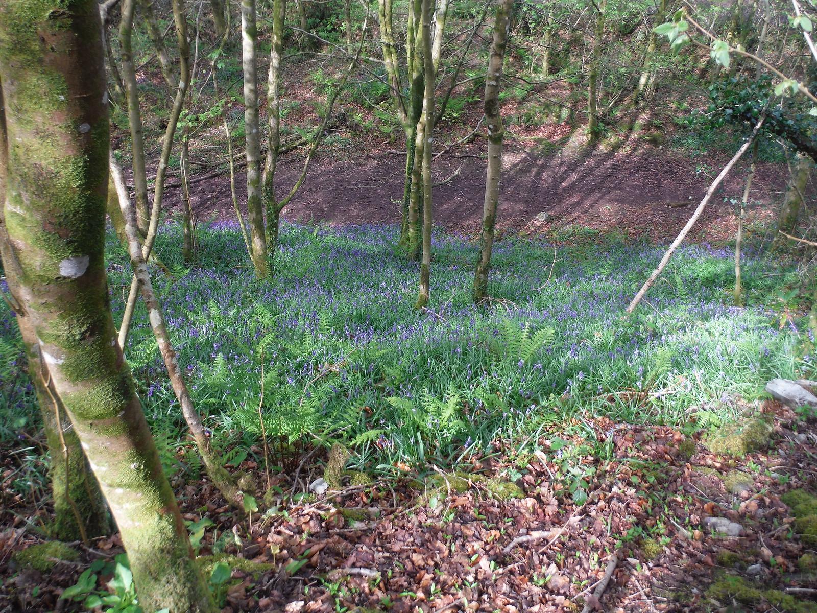 Bluebells in Craig y Nos Country Park SWC Walk 307 - Fforest Fawr Traverse (Craig y Nos to Llwyn-y-celyn)