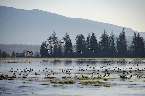 Skagit Morning Birds-9
