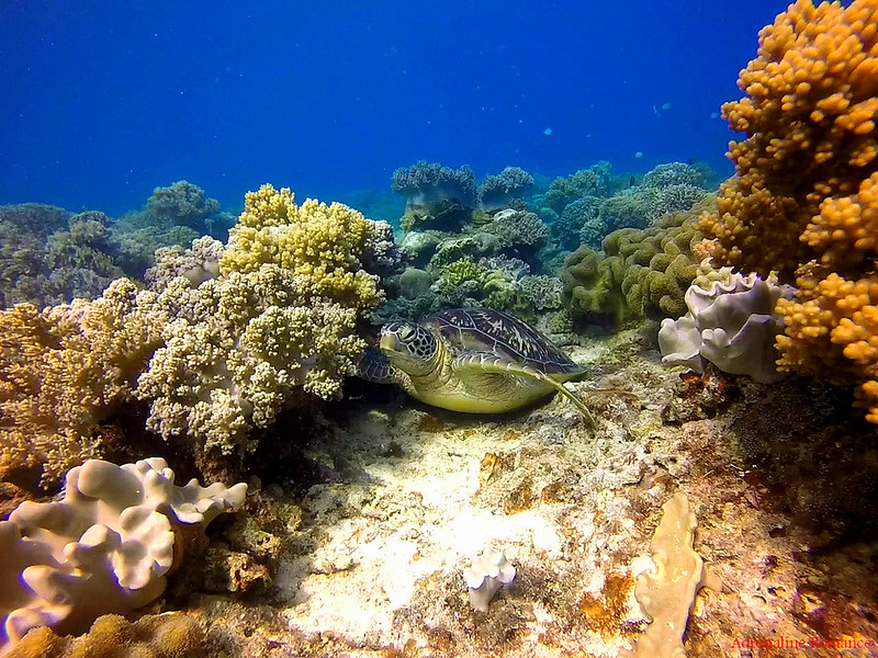 Scuba Diving in Apo Island