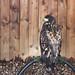 Warwick Castle: White-tailed sea eagle