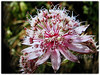 Astrantia major (Greater Masterwort, Great Black Masterwort, Melancholy Gentlemen)