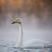 Sangsvane - Whooper Swan.jpg by Robert Fredagsvik - Norway