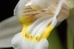 [China] Coelogyne flaccida Lindl., Gen. Sp. Orchid. Pl.: 39 (1830)