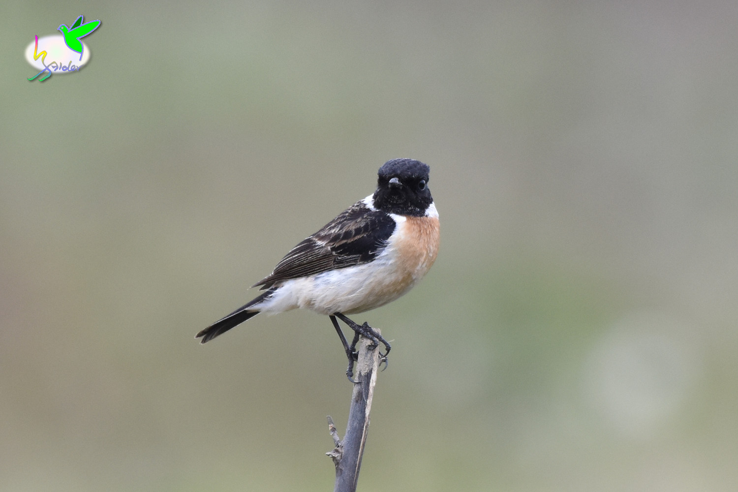 Common_Stonechat_9430