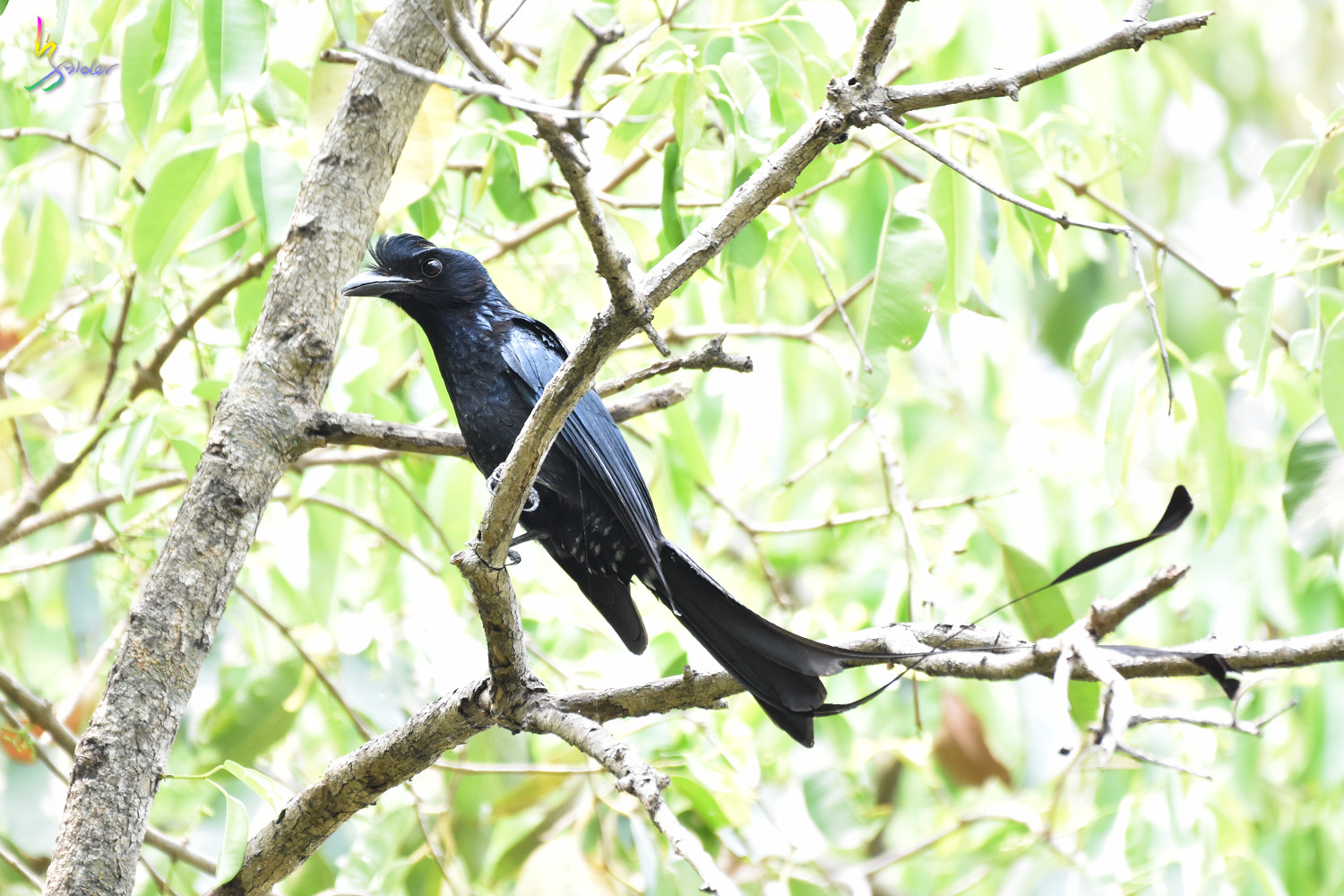 Greater_Racket-tailed_Drongo_1350