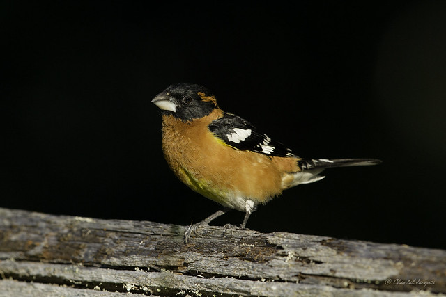 Shining in the dark version 2 - Black-Headed Grosbeak