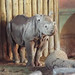 Young Rhino at Chester Zoo