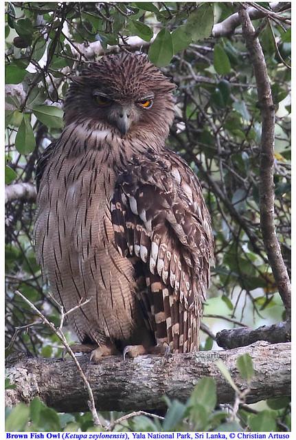 Brown Fish Owl__roost_ARTUSO