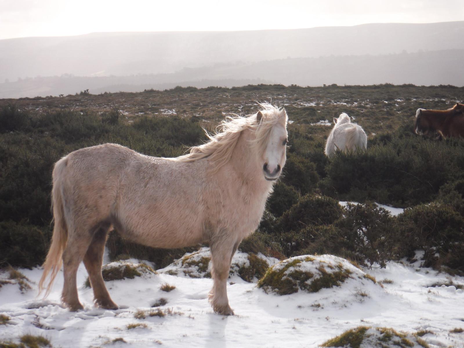 Wild Ponies on Mynydd Llangorse SWC Walk 308 - Bwlch Circular (via Mynydd Troed and Llangorse Lake)