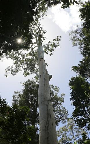 Rose Gum (Eucalyptus grandis)