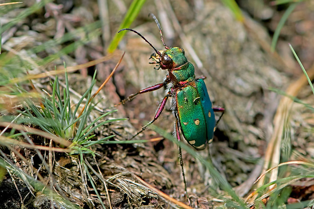 Cicindela campestris - the Green Tiger Beetle