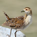Small photo of Baillon's Crake (Porzana pusilla)