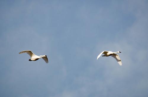 Trumpeter Swans-001