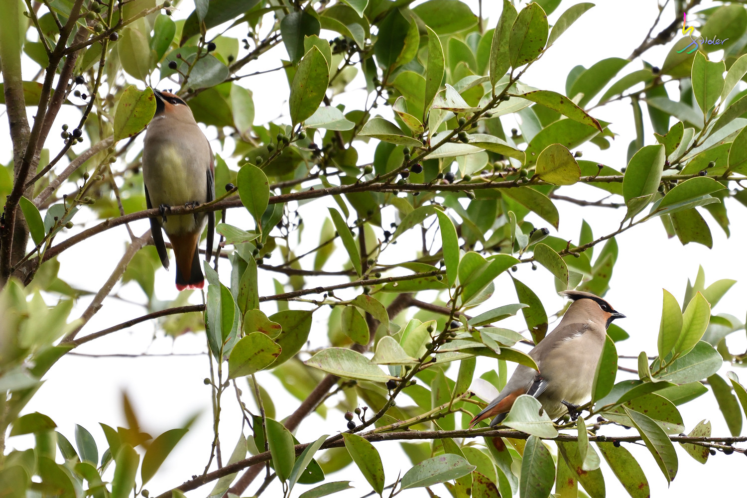 Japanese_Waxwing_7478