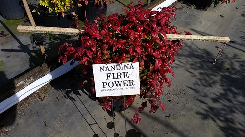Nandina Firepower 3 gal 12-15 | by Johnson Farms