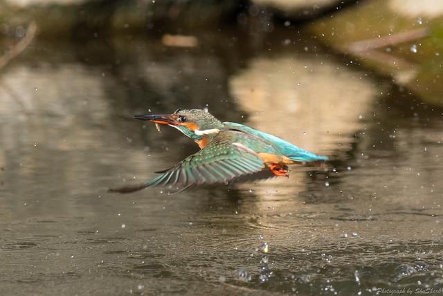 20180127-kingfisher-DSC_6066
