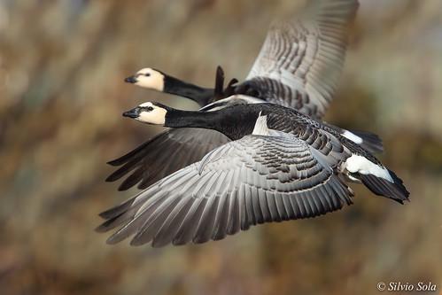 Oca facciabianca - Barnacle goose - Branta leucopsis