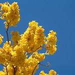 Tabebuia donnel-smithii flower
