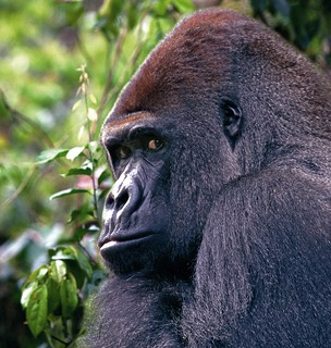 gorila_1
