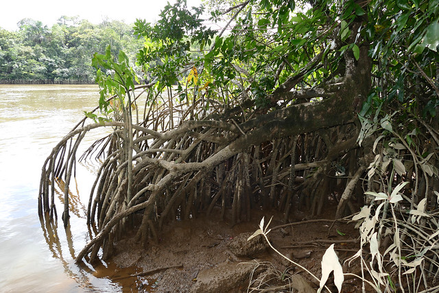 Red Mangrove (Rhizophora sp.) roots ...