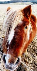 Chestnut pony